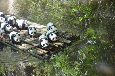 1600 Pandas are crossing the river by a bamboo raft, and ready to land in Malaysia!