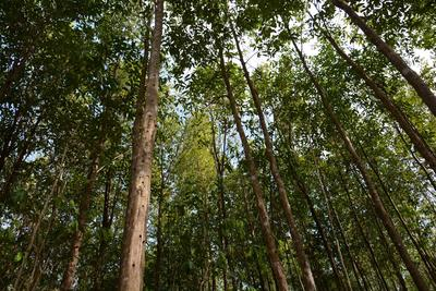 Asia Plantation Capital's Aquilaria trees, the source of sustainable Agarwood