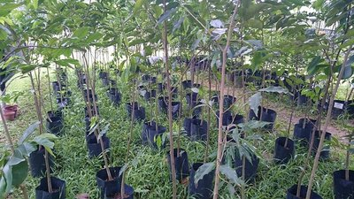 Aquilaria tree saplings growing in an Asia Plantation Capital nursery