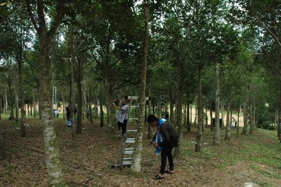 Asia Plantation Capital's staff using organic technology to inoculate the highly endangered Aquilaria trees in Malaysia.