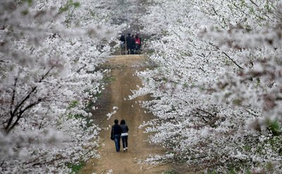 China's Largest Peach Blossom Field Flower Season Starts Now.