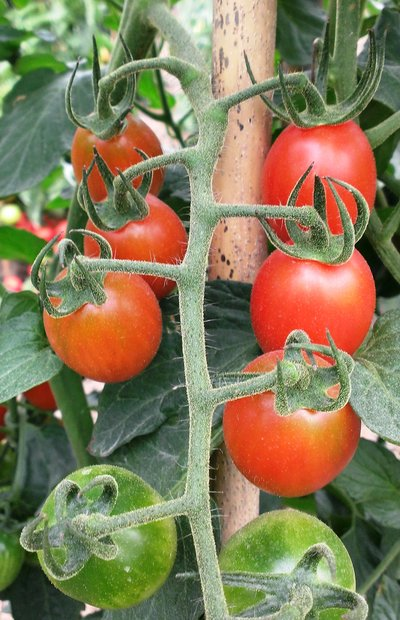 Sing Flow Seed - Cherry tomato: indeterminate, disease resistant, about 11 fruits per cluster