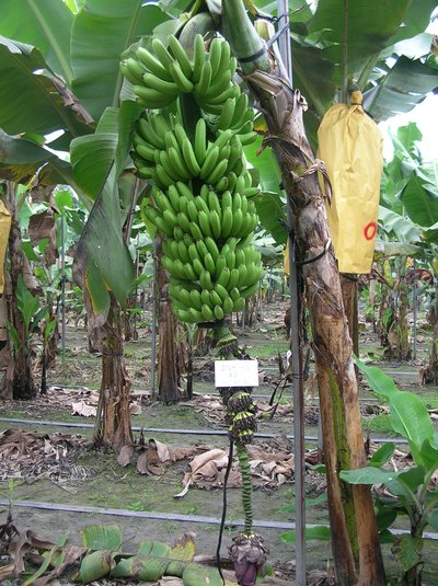 "TBRI-""Taiwan Banana No. 7"", the newly developed Cavendish cultivar banana plantlet with moderate resistance to Foc TR4"