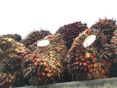 Harvesting Palm Oil