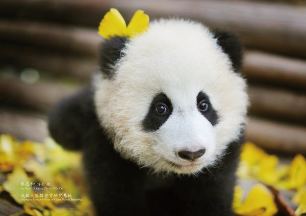 Sichuan Airlines Adopts Baby Panda To Spread Panda Culture Promote New International Routes Pr Newswire Apac