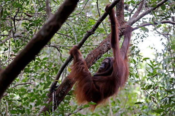 Golden Agri-Resources (GAR) dan Orangutan Foundation International (OFI) Melepasliarkan Enam Orangutan di Kalimantan Tengah, Indonesia