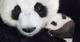 迪士尼自然《诞生在中国》熊猫一家