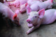 生猪销量逆势增长近50% 大环境不改坚定扩张