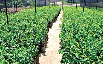 Aquilaria Saplings in Nursery
