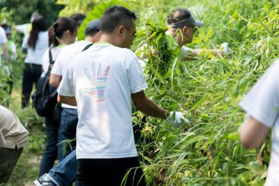 ACE's volunteers doing their bit to preserve Fung Yuen Butterfly Reserve by removing Mikania vines.