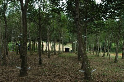 Asia Plantation Capital Expands Agarwood Inoculation Programme in Malaysia