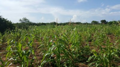 Africa Plantation Capital's bamboo estate is located in the prime crop belt, close to the strategic port of Mombasa, Kenya.