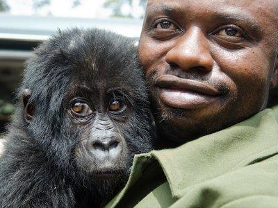 维龙加国家公园里的巡护人员和他们救助的山地大猩猩