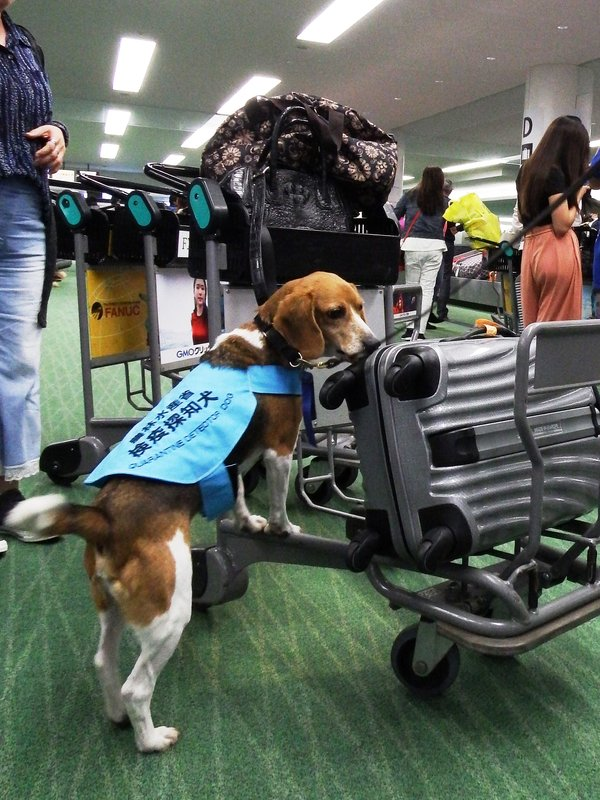 Japan's Animal Quarantine Service to strengthen inspections of hand-luggage