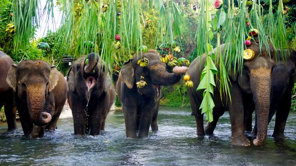 The elephants enjoy their favorite food during World Elephant Day at Bali Zoo.