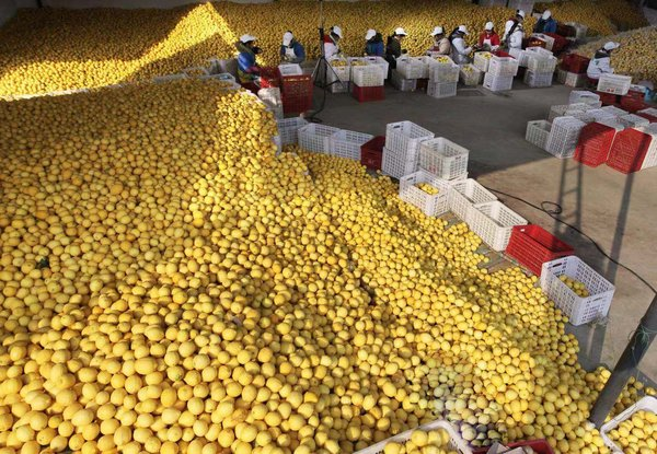 Dozens of workers pick and pack quality lemons. (Anyue Publicity Department)